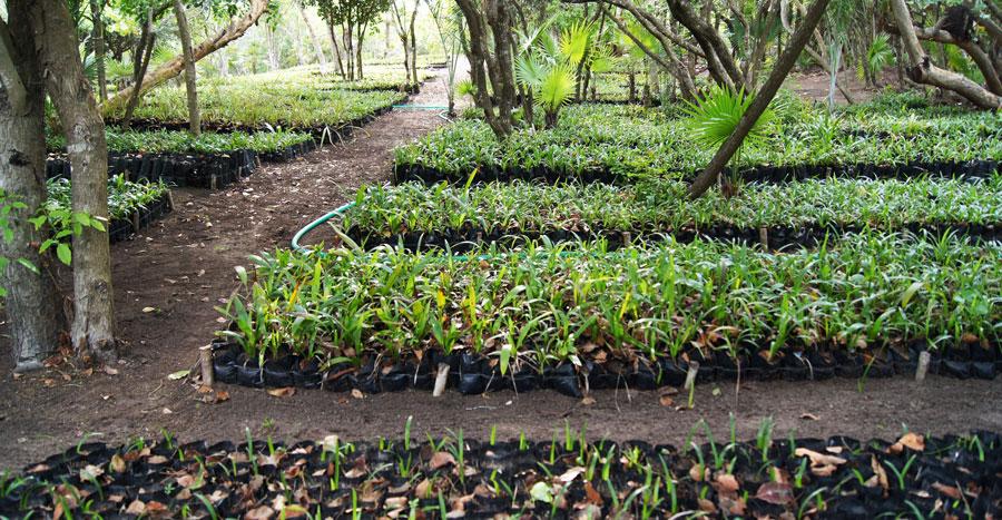 Proyecto uma vivero u pak aal palal la siembra de los for Plan de negocios de un vivero de plantas